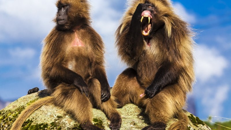 Ethiopië-Simien gebergte-Gelada bavianen