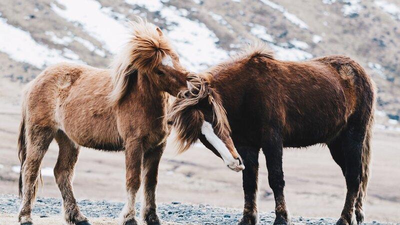 IJsland-paarden2
