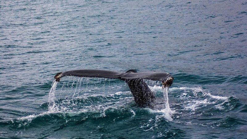 IJsland-whale-watching