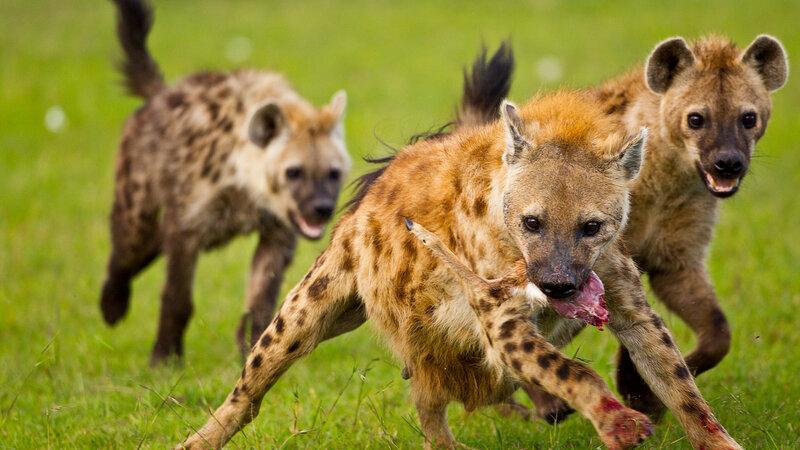 Kenia-algemeen-hyenas