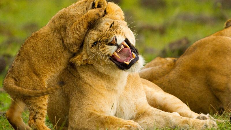 Kenia-algemeen-leeuw (2)