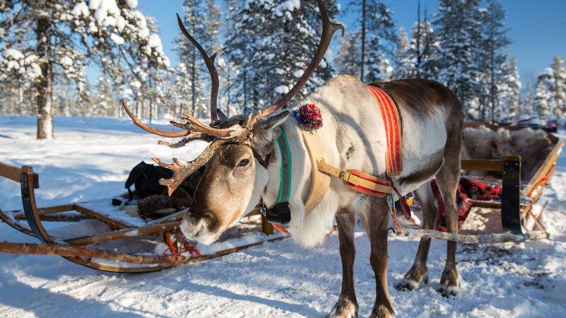 Lapland - Rendier - slee - sneeuw  (4)
