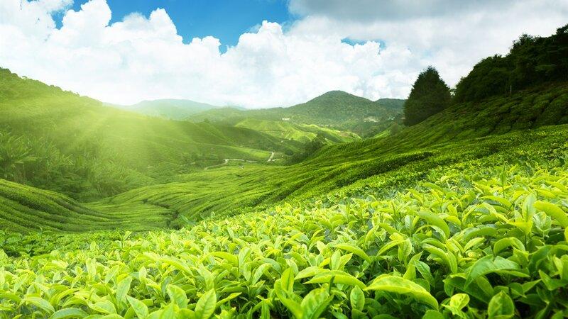 Maleisie-Cameron Highlands-hoogtepunt-groene vlakte