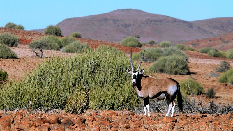 Namibië-algemeen-orynx 1