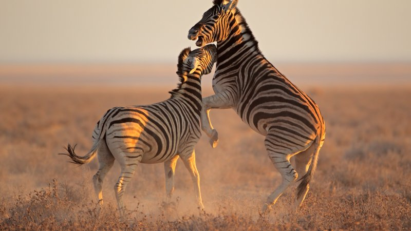 Namibië-algemeen-vechtende zebra's