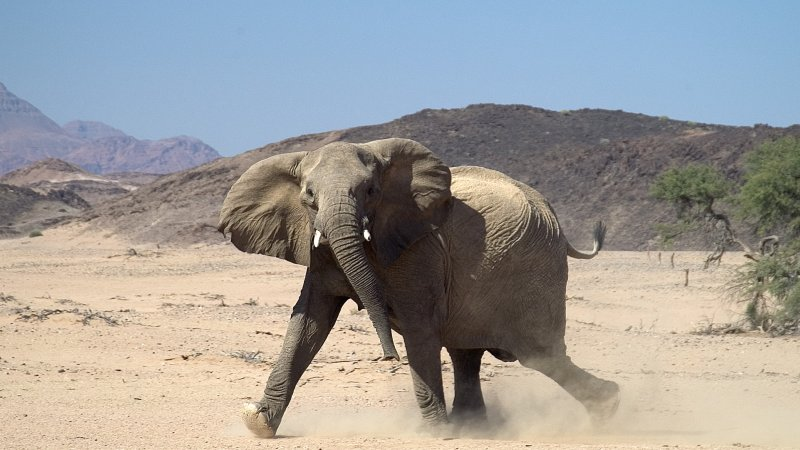 Namibië-Damaraland-hoogtepunt-olifant