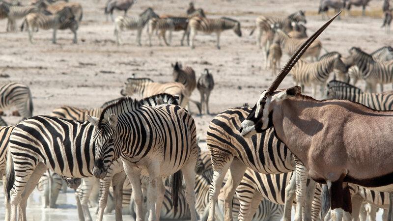 Namibie - Etosha zebra's en oryx