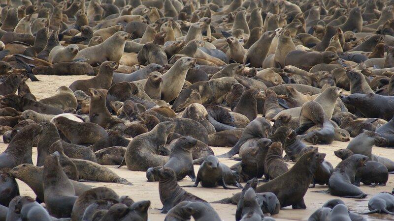 Namibië-Swakopmund-hoogtepunt-zeehonden