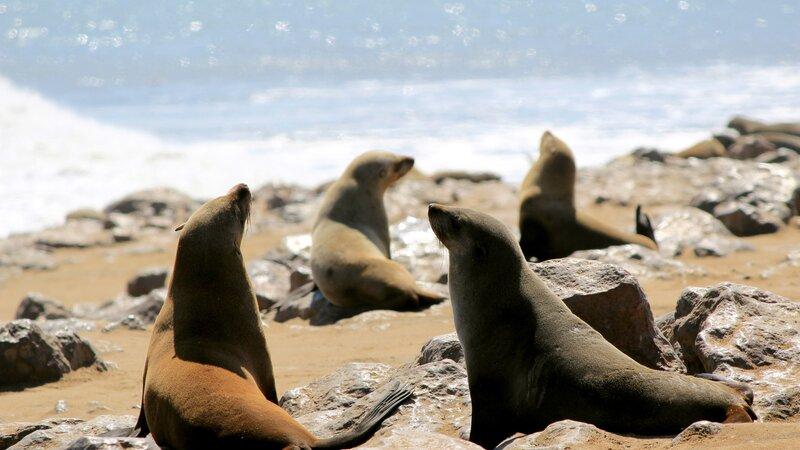Namibië-Swakopmund-hoogtepunt-zeehonden op het strand