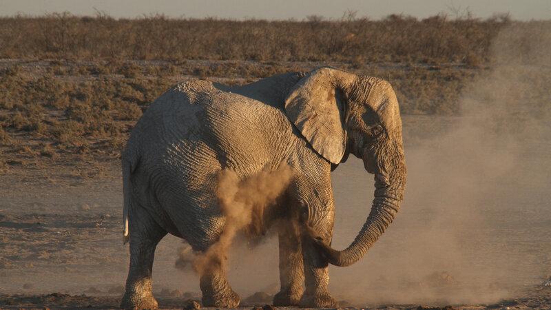 Namibie - woestijnolifant