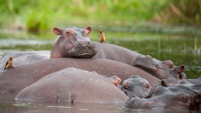 Oeganda-Murchison Falls-nijlpaarden