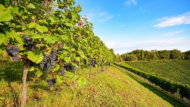 Portugal - Wijn - druiven - Mateus rosé (6)