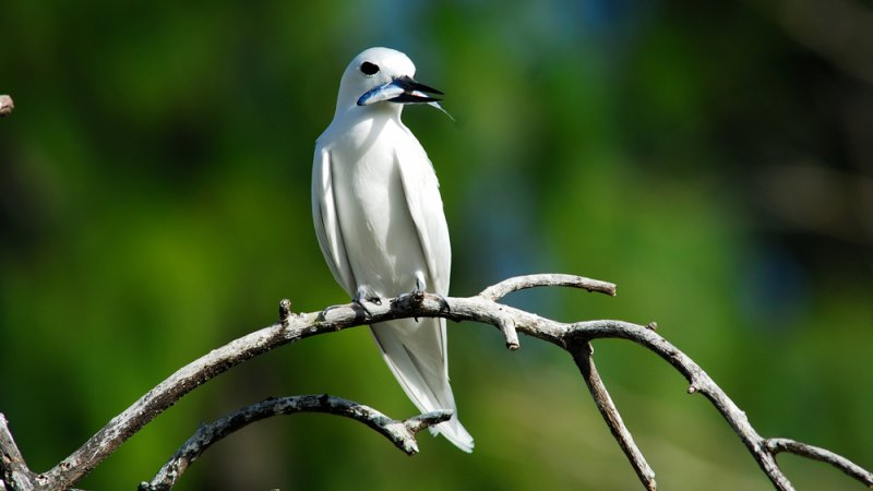 Seychellen-Praslin-algemeen-zeevogel