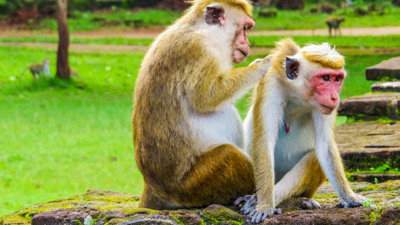 Sri-Lanka-Culturele-Driehoek-Excursie-Meet-the-monkeys-in-Polonnaruwa 4