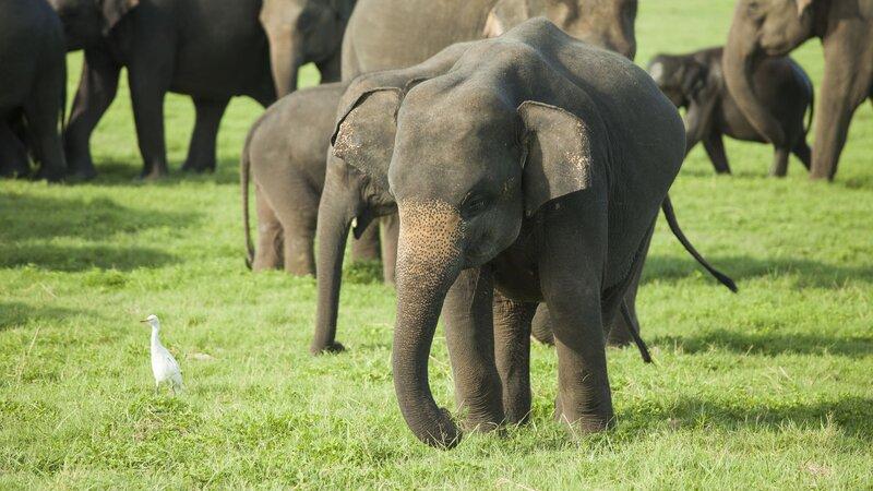 Sri Lanka-Minneriya-hoogtepunt-safari1