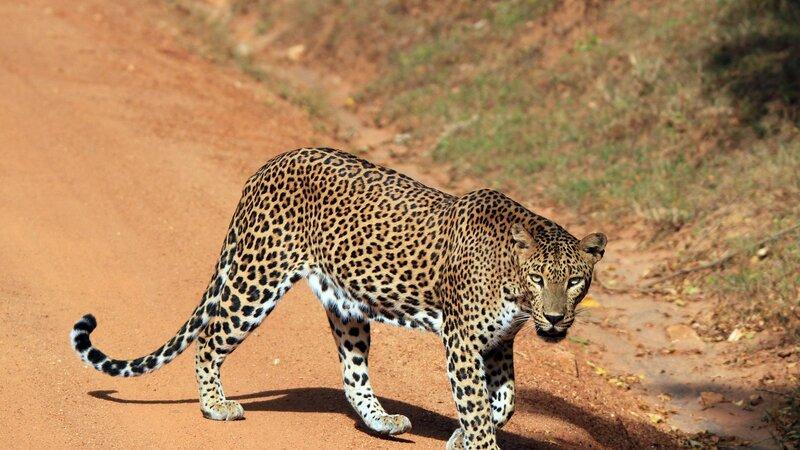 Sri Lanka-Yala-hoogtepunt-safari