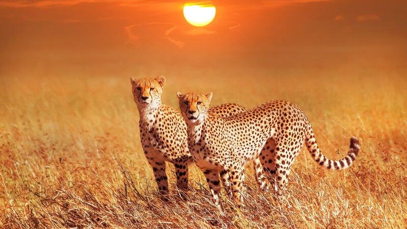 Tanzania-Serengeti-Cheetah