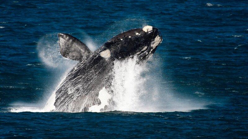 Zuid-Afrika-Hermanus-hoogtepunt-walvis