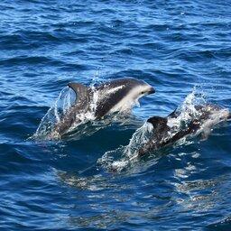 Argentinië - dolfijn