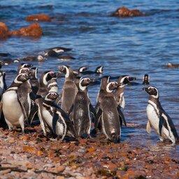 Argentinië - Pinguin (1)