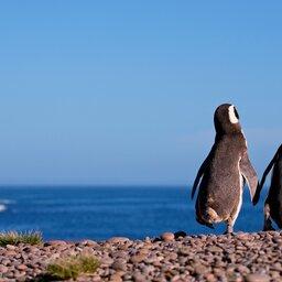 Argentinië - Pinguin (2)