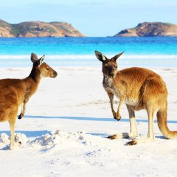 Australië -Kangaroos - Cape Le Grand National Park - Lucky Bay - Western Australia