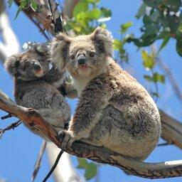 Australië - Wild Koalas - Great Ocean Road - Victoria