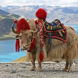 Bhutan-algemeen-jak