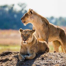 Botswana_Leeuwen