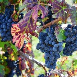Bulgarije-Melnik-wijngaard-detail-druif