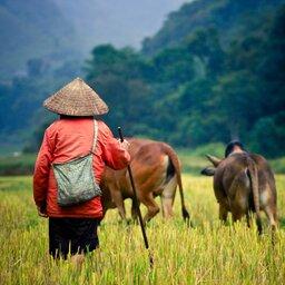 Cambodja-algemeen-rijstplukker begeleidt dieren