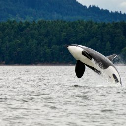 Canada-hoogtepunt-whalewatching (3)