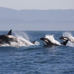 Canada-hoogtepunt-whalewatching (4)