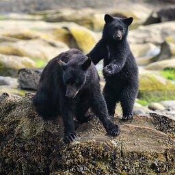 Canada - Zwarte beer