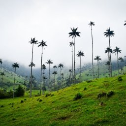 Colombia - palmbomen