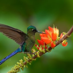 Colombia - Sylph, Aglaiocercus kingi - vogel