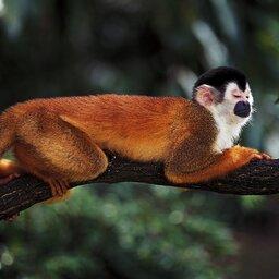 Costa Rica - aapje