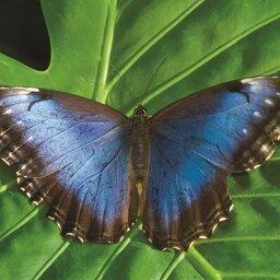 Costa Rica - vlinder