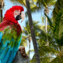Dominicaanse Republiek - Red Macaw
