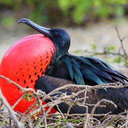 Ecuador - Frigatebird (Fregata minor) Genovesa Island- Galapagos