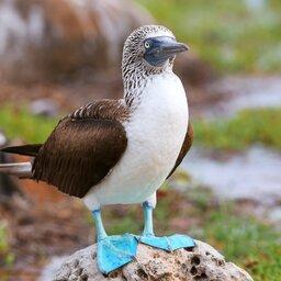 Ecuador - galapagos - Blue-footed Booby (Sula nebouxii)