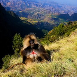 Ethiopië-Simien gebergte-Gelada baviaan