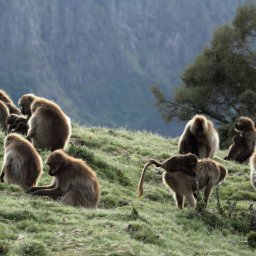 Ethiopië-Simien gebergte-Gelada bavianen familie