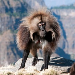 Ethiopië-Simien Mountains-Gelada Bavianen