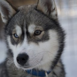 Finland-Lapland-Ivalo-wilderness-hotel-Inari-husky
