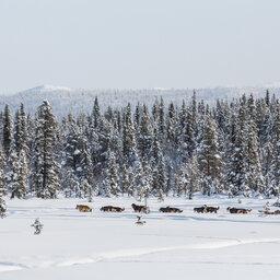 Finland-Zweden-Lapland-husky-safari 6