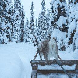 Finland-Zweden-Lapland-rendier-safari-slee-sneeuw 7