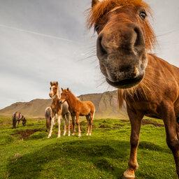 IJsland-dieren-IJslandse-paarden-Excursie-Horse-gathering 5