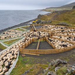 IJsland-dieren-schapen-Excursie-IJslandse-Sheep-Gathering-Rettir 1