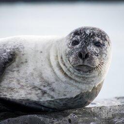 IJsland-noordkust-Excursie-Seal watching-Hvammstangi-2